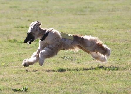 Komar Afghan Hounds Afghan Hound Lure Coursing